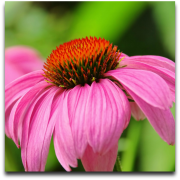 Consciousness Echinacea Flower Essence
