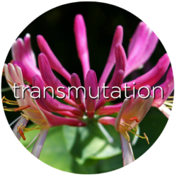 honeysuckle transmutation flower essence