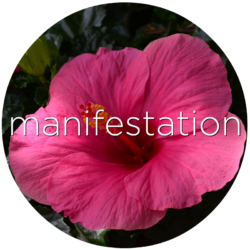 hibiscus manifestation flower essence