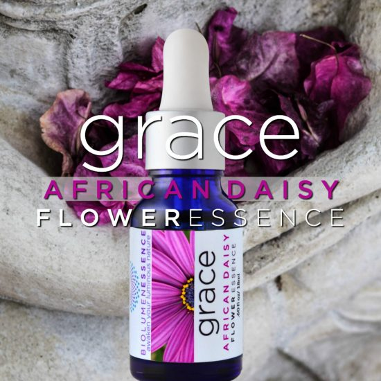 African Daisy Grace Flower essence