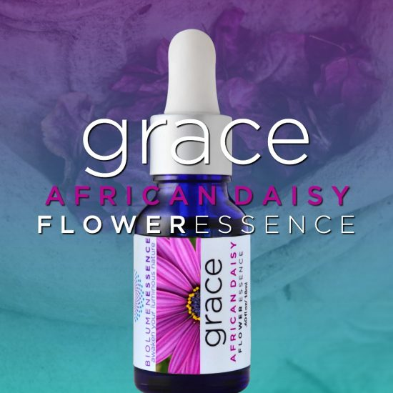 Grace African Daisy Flower Essence